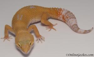 leopard geckos for sale tremper sunglow female