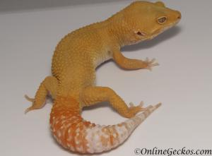 leopard geckos for sale tremper sunglow male