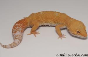 leopard gecko for sale tremper sunglow male