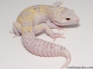 leopard geckos for sale white yellow radar het white knight male