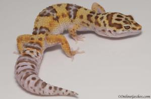 leopard geckos for sale white