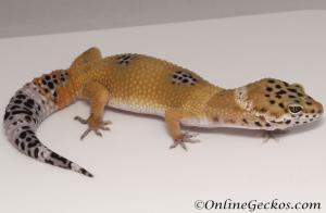 Sold - Tangerine het Tremper Albino Female Leopard Gecko For Sale M25F86082220F