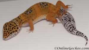 Sold - Blood Tangerine Female Leopard Gecko For Sale M31F90080520F