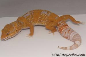 Sold - Blood Tremper Albino Female Leopard Gecko For Sale M31F100080120F2