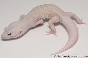 Sold - Diablo Blanco Male Leopard Gecko For Sale M30F99051820M