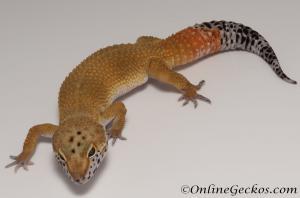 Sold - Super Hypo Tangerine Male Leopard Gecko For Sale M25F86063020M2