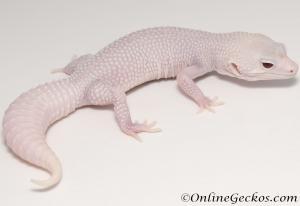 Sold - Super Snow Diablo Blanco Female Leopard Gecko For Sale M30F99071920F