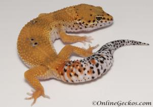 Sold - Tangerine het Tremper Albino Female Leopard Gecko For Sale M31F90061920F2
