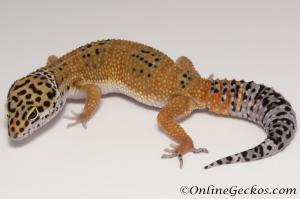 Sold - Tangerine het Tremper Albino Female Leopard Gecko For Sale M31F90082020F