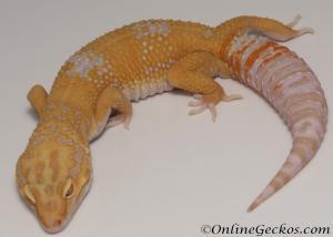 Sold - Tangerine Tremper Albino Male Leopard Gecko For Sale M25F78070120M