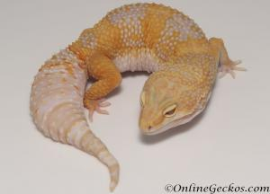 Sold - High Contrast Tangerine Tremper Albino Female Leopard Gecko For Sale M25F78061020F