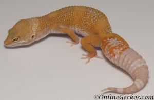 Sold - Tangerine Tremper Albino Female Leopard Gecko For Sale M31F90070220F2