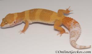 Sold - Tremper Sunglow Female Leopard Gecko For Sale M31F100081820F