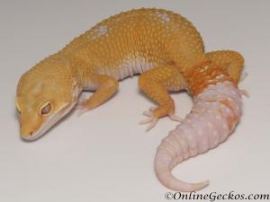 Sold - Tremper Sunglow Male Leopard Gecko For Sale M25F78070120M2