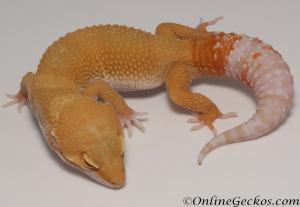 Sold - Tremper Sunglow Male Leopard Gecko For Sale M25F86063020M