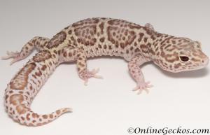 *Sold* Mack Snow Radar Female Leopard Gecko For Sale MSRADAR071416F