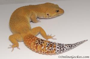 Sold - Super Hypo Tangerine Carrot-tail Baldy Male Leopard Gecko For Sale M31F100071120M2