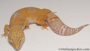 Sold - Tangerine Tremper Albino Female Leopard Gecko For Sale M25F86090920F