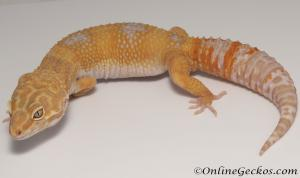 Sold - Tangerine Tremper Albino Male Leopard Gecko For Sale M25F86082220F2