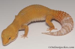 Sold - Tremper Sunglow Female Leopard Gecko For Sale M31F100081520F