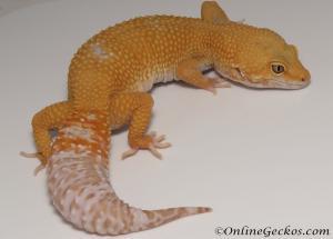 Sold - Tremper Sunglow Female Leopard Gecko For Sale M31F90082320F