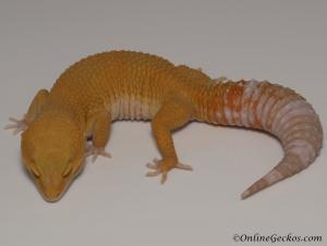 Tremper Sunglow Female Leopard Gecko For Sale M33F78060221F