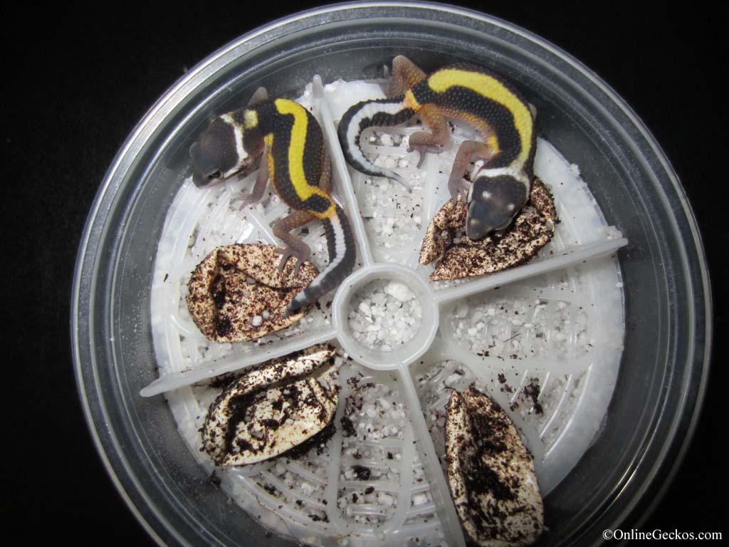 Bandit projects thriving - hatchlings - OnlineGeckos.com ...Live Leopard Gecko Hatching