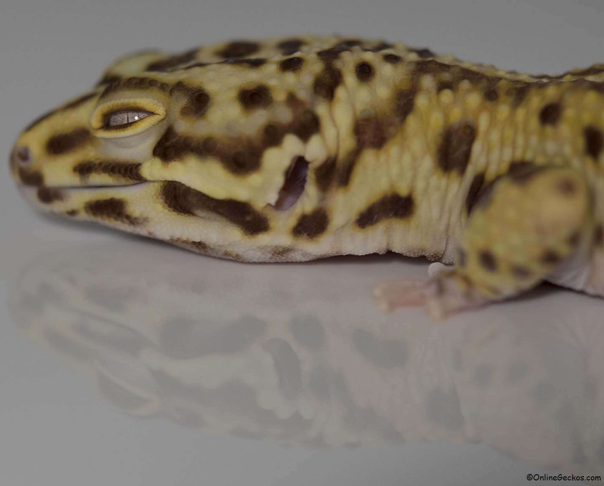 Our Leopard Gecko Collection and Breeders - Leopard Geckos ...Leopard Gecko Hatchling Tank Setup