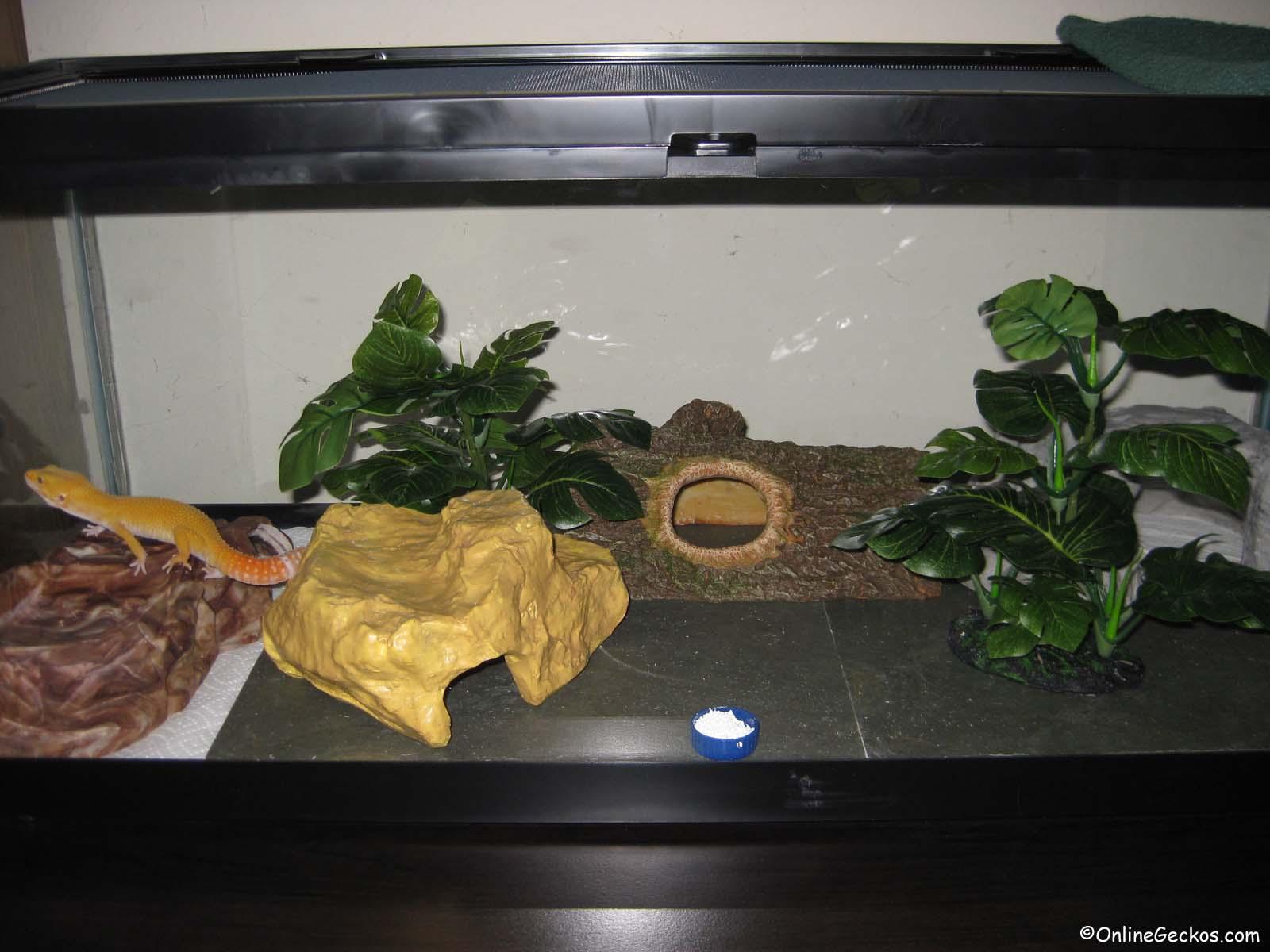 Basic Leopard Gecko Tank Setup Leopard Geckos For Sale Leopard