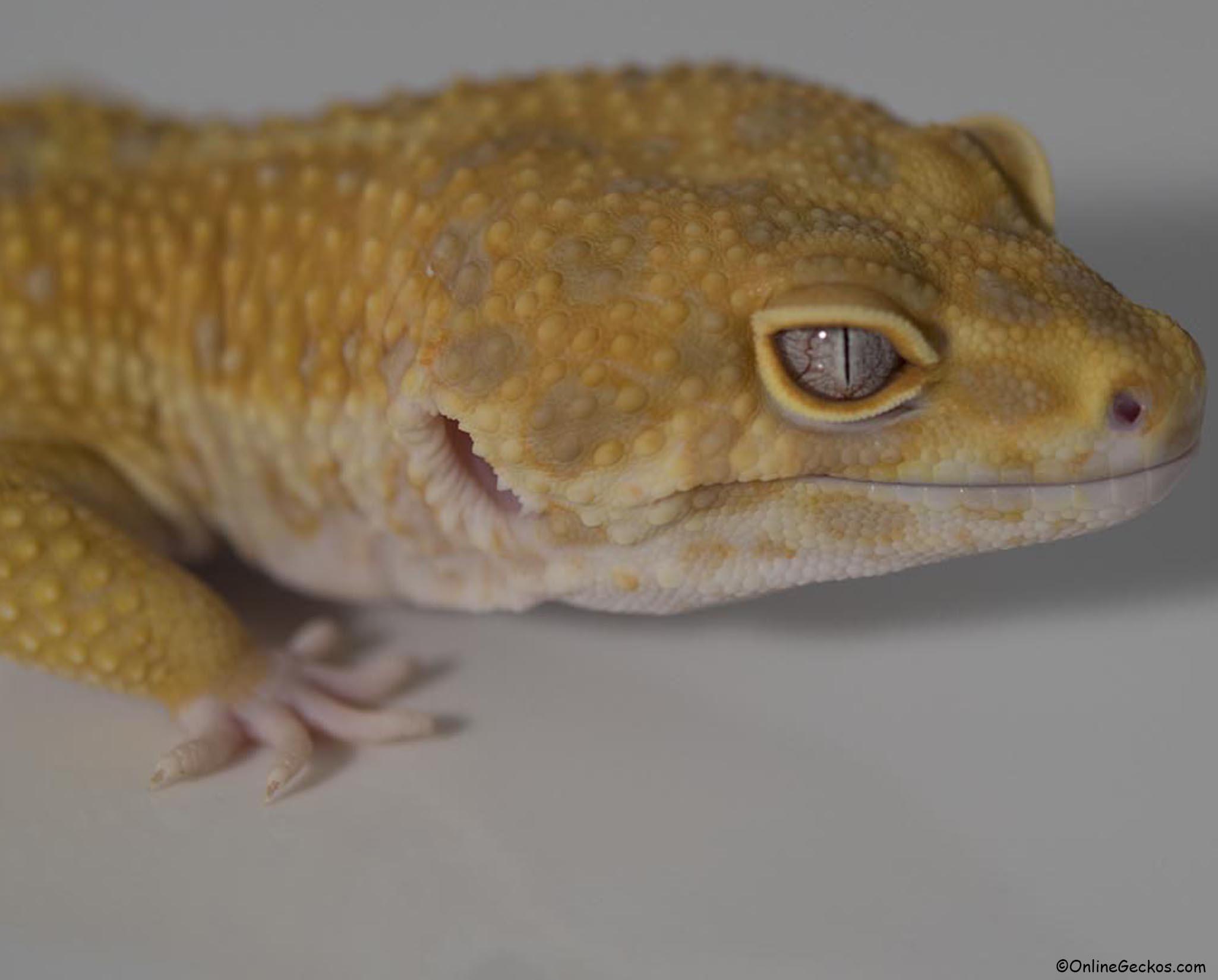 Basic Leopard Gecko Tank Setup Leopard Geckos For Sale