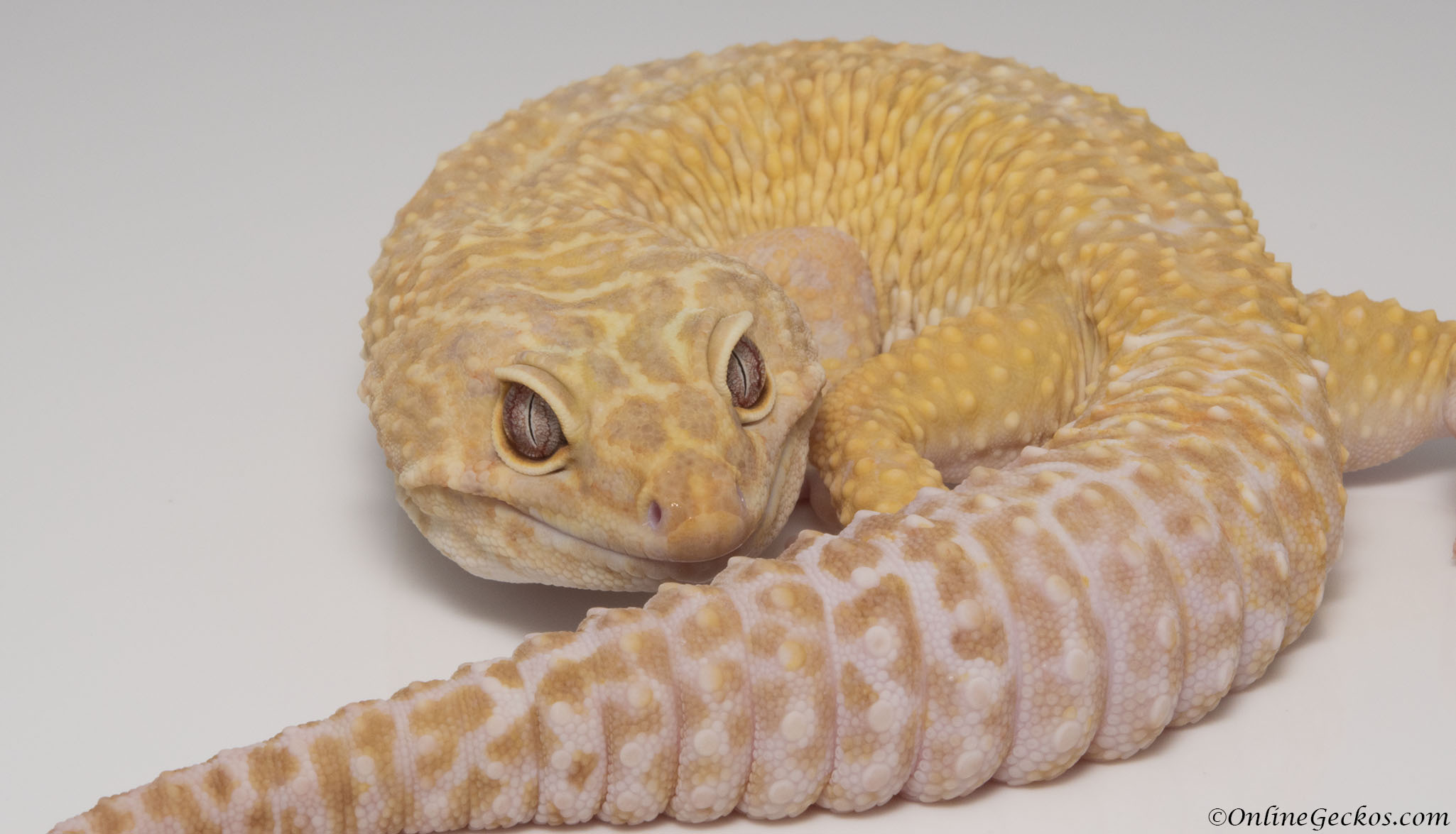 leopard-geckos-for-sale-onlinegeckos-quality-gecko-breeder-super-giant-tremper-sunglow-apollo.jpg